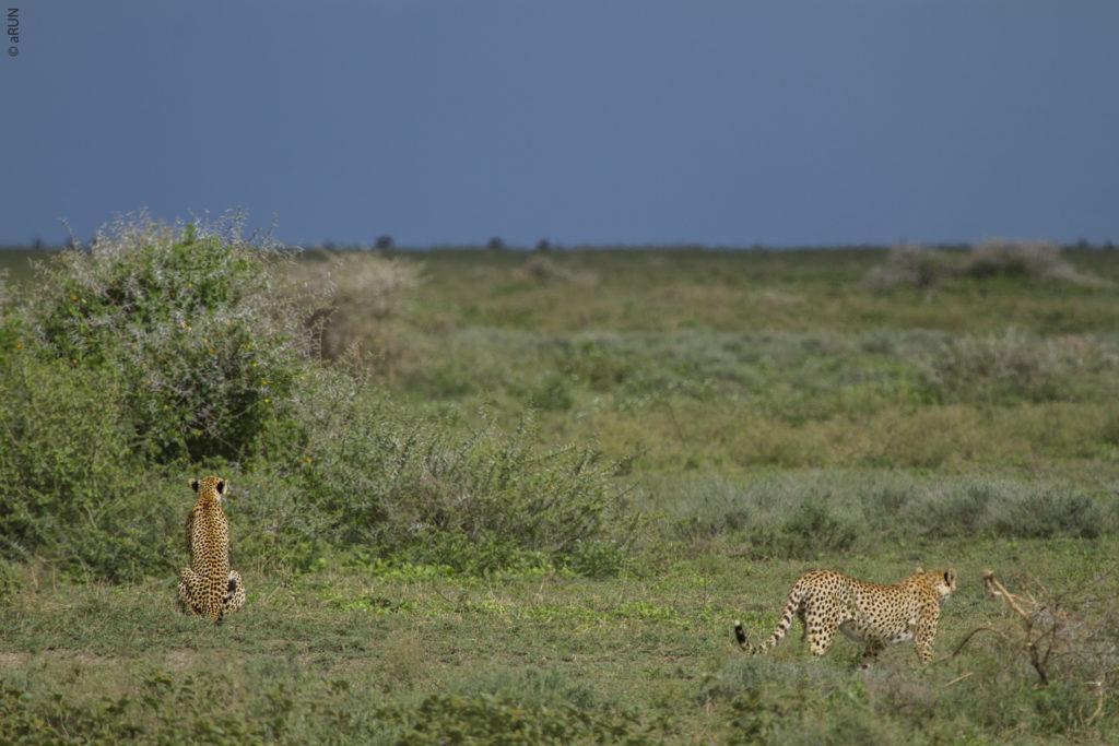 1-cheetah-img_2491