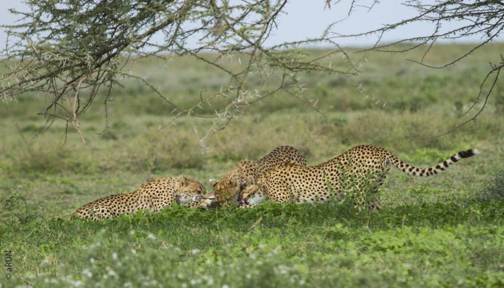 3-cheetah