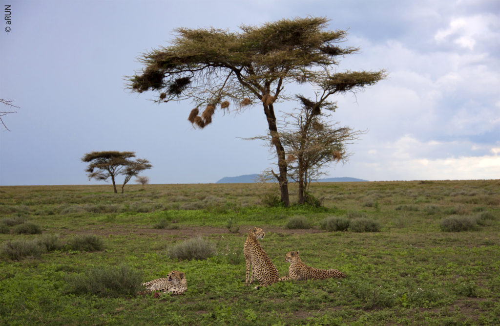4-cheetah-img_5914